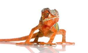 chameleon as an exotic pet