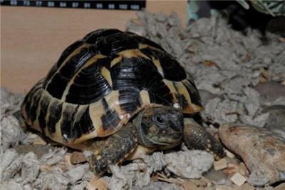 Stewie, a hermanns tortoise