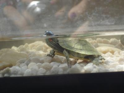 one of the red eared slider turtles