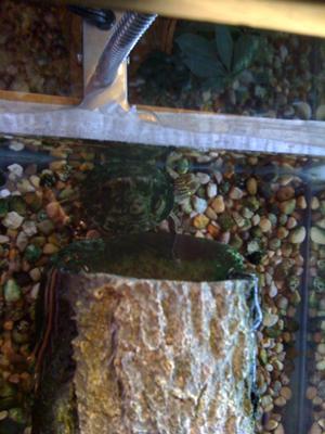 My turtle Webster