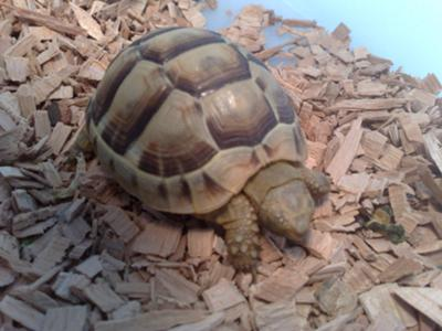 My  greek tortoise