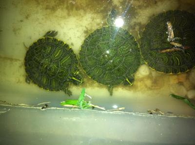 Yellow Bellied Sliders