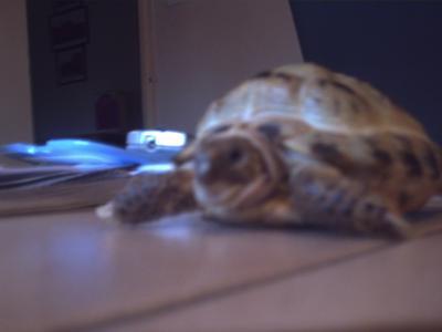 Benji the Tortoise
