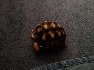 young sulcat tortoise