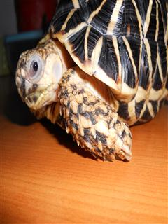 Does this tortoise have an eye infection?