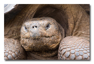 a Galapagos tortoise looks you straight in the eye.