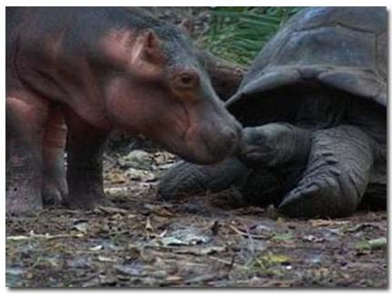 hippo and tortoise picture