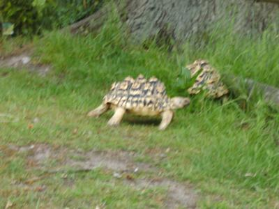 2 leopard tortoises grazing