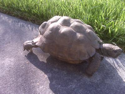 Is this a gopher tortoise?