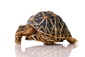 Indian starred tortoise whose shell is the shape of a Gomboc