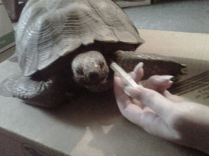 how to give a tortoise an injection