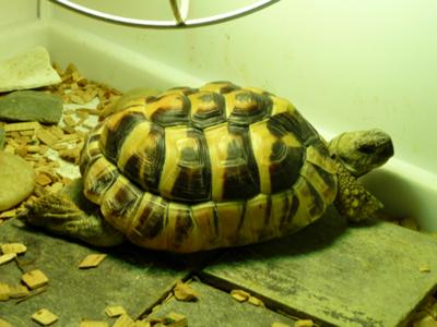 Tommy the Hermann's Tortoise