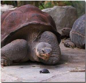 Galapagos tortoise hatchling and adult