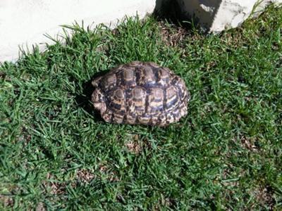 shy leopard tortoise