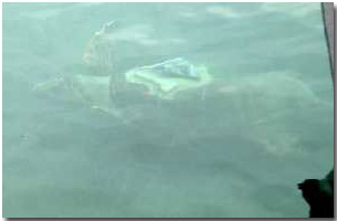 It's hard to see a loggerhead turtle under water