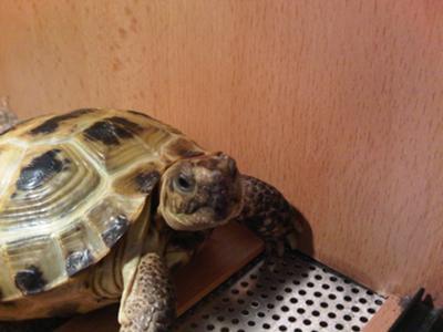 Marcel the horsfield tortoise