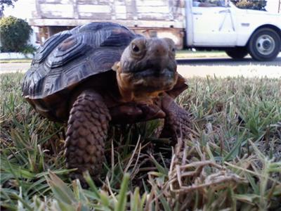 This is Brutis (: A Desert Tortoise