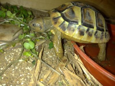 My Sheldon =] Hermann's Tortoise