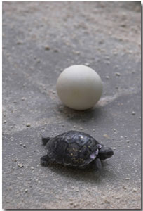 Galapagos giant tortoise egg and hatchling