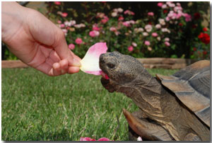 pet tortoise eats a rose petal
