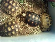 Sulatas, Redfoot, and Russian Tortoises