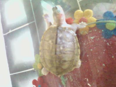 malaysian turtle