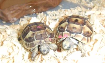 Greek Tortoises