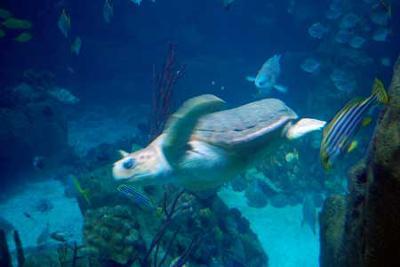 Snorkel the Leatherback Turtle
