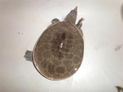 Soft shell with a shell that is gradually getting lighter