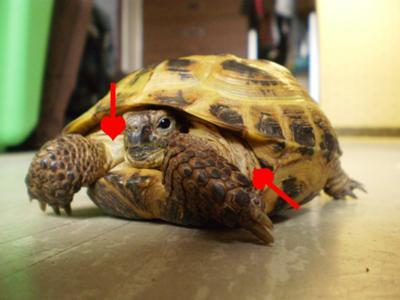 swollen tortoise