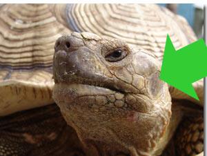 tortoise ears