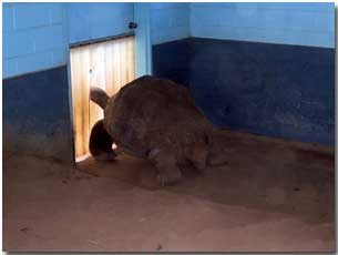 Galapagos tortoise in the Western Plains Zoo tortoise house keeping his feet warm