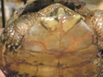 What turtle is this?