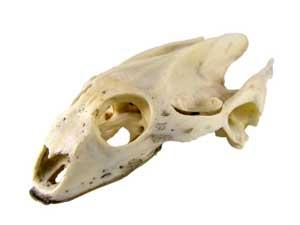 turtle skull, tortoise anatomy