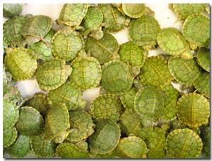 turtle family members
