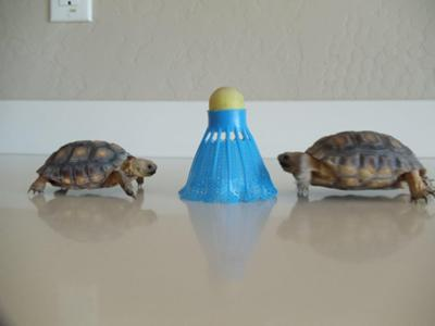 Are these Sonoran Desert Tortoises?