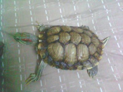 chiness tortoise
