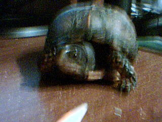 what kind of tortoise is it