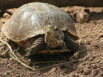 What kind of tortoise is this?