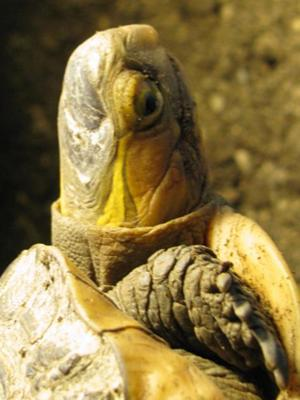 What tortoise is this?