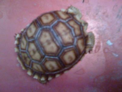 this is crush my African sulcata tortoise