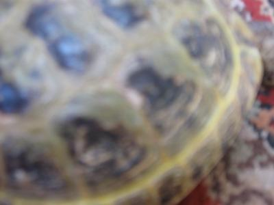 Tootles the Russian Tortoise Scrapes her shell