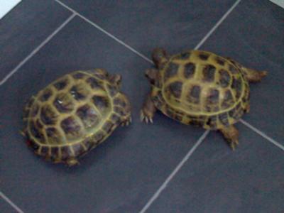 horsfield tortoises