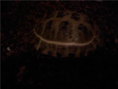 white ring around Russian tortoise shell