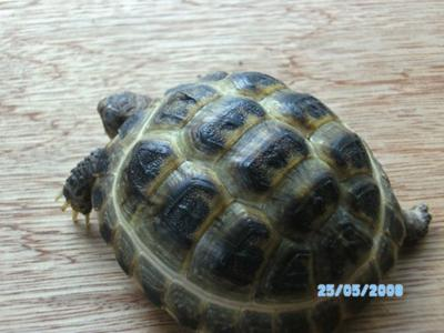 Russian Tortoise: Does it have shell rot?