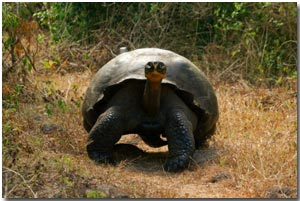 A galapagos giant tortoise heads down the road in Santa Cruz in the Galapagos Islands