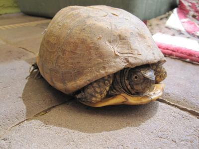 tortoise shell peeling