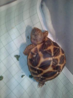 what type of tortoise is this?