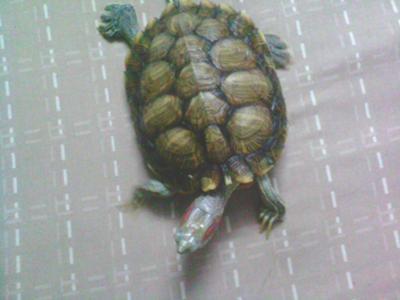 chiness tortoise1