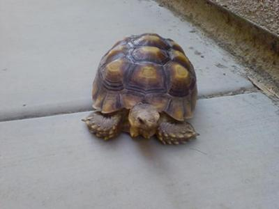 Which kind of tortoise is this?